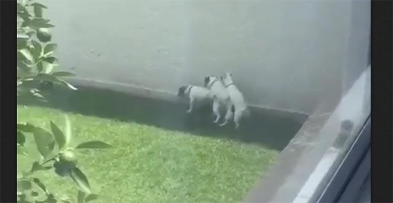 VIDEO: NAERA POOLEKS - Sellist koerte orgiat ei näe just igapäev