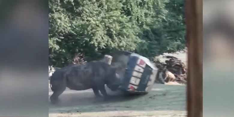 VIDEO: Jõhker jõud - Ninasarvik loobib autot nagu mängiks jalgpalli