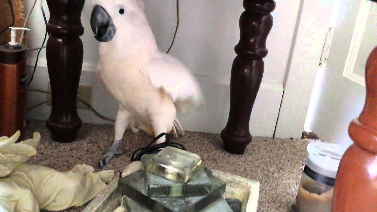 VIDEO: Omanik teatas Kakaduule, et on veterinaari juurde minek. Kakaduu reaktsioon on midagi täiesti uskumatut!