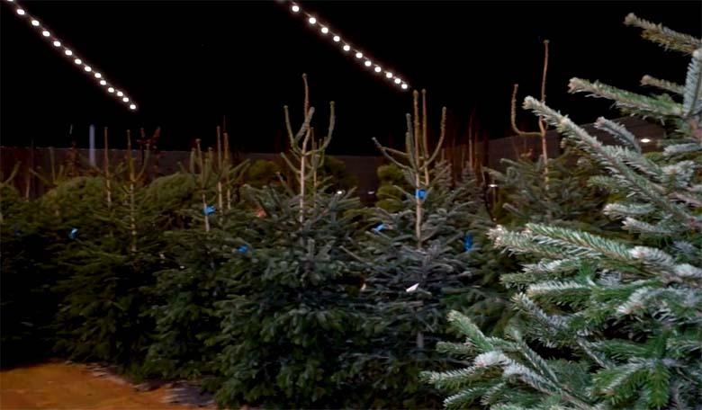 VIDEO: VÄGA OLULINE TEADA, kui lähed jõulupuud valima! 🌲