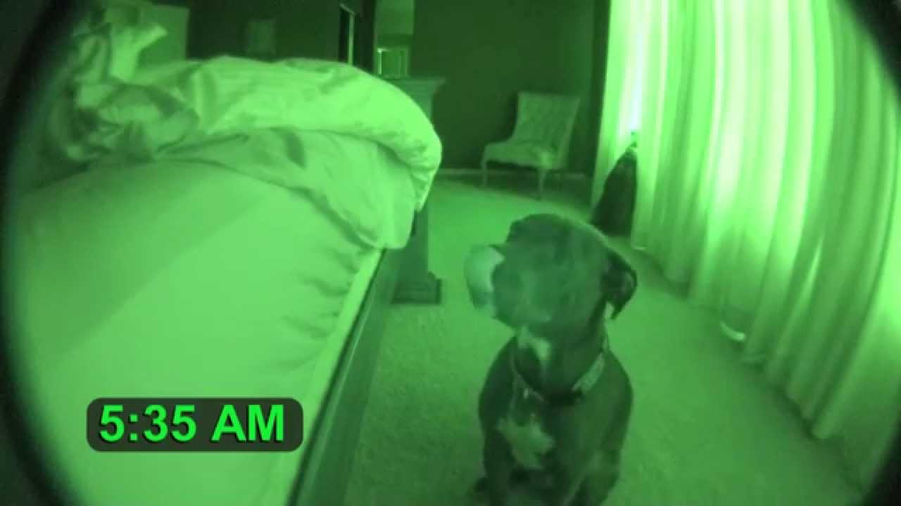 VIDEO: Koer käitub imelikult igal hommikul. Mees pani üles kaamera, et jäädvustada tema tegevus…